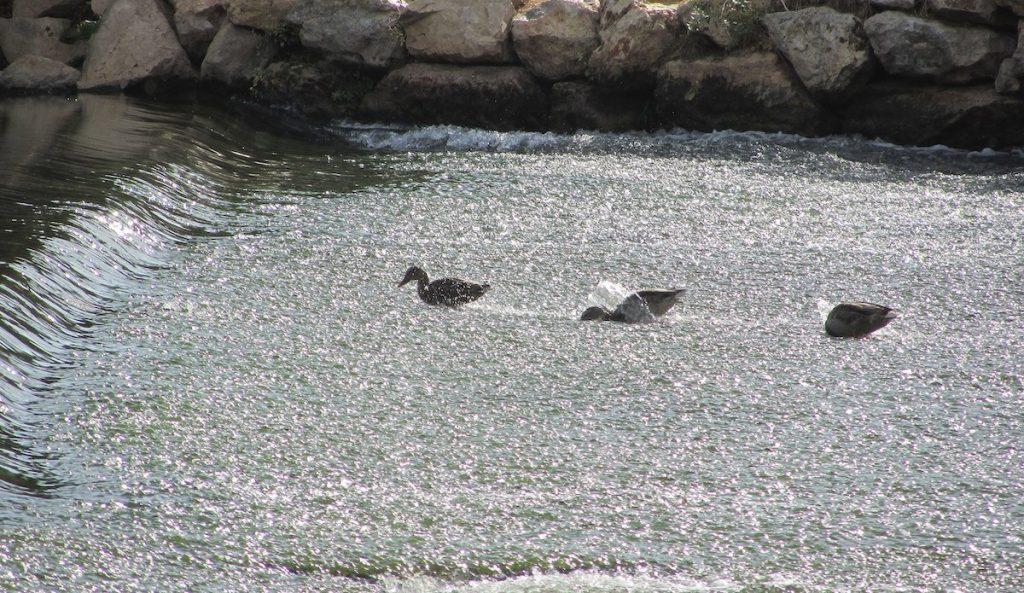 Patos en el río Henares