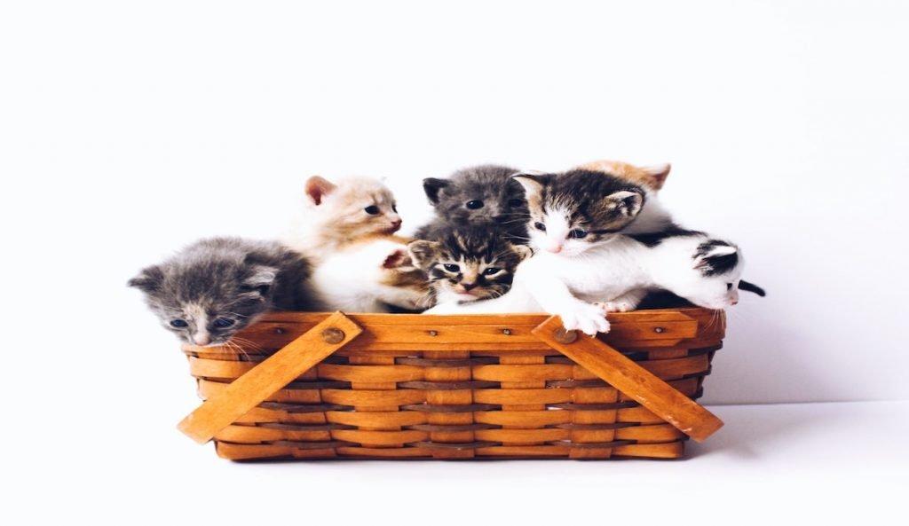 gatos en un cesto
